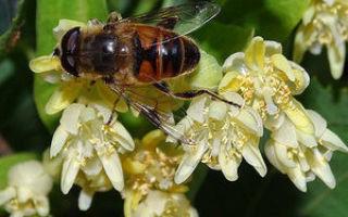 Липовый мед: основные свойства и показания к применению