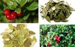 Отвар брусничного листа: целительное средство от простуд и воспалений