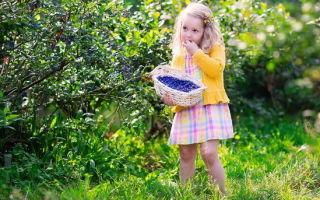Голубика – полезные свойства и характеристики растения