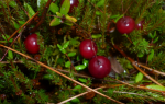 Клюква болотная – где растет, способы и сроки сбора