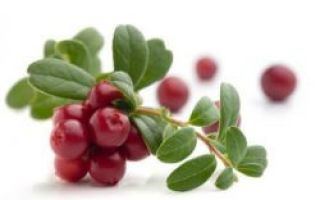 Сушеная клюква — целебные свойства и заготовка