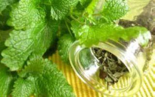 Трава мелисса – особенности применения лекарственного растения