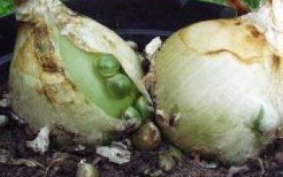 Лечебные свойства настойки индийского лука и применение в медицине