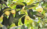Мангустин – фрукт богов на страже здоровья