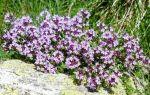Чабрец – лечебные свойства и противопоказания растения