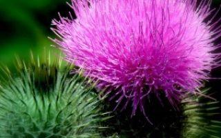 Лечение печени хреном — рецепты от гепатита, цирроза и рака