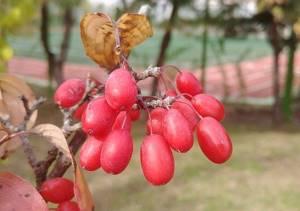 Лимонник китайский: польза и способы применения