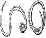 Настойка заманихи —показания и инструкция по применению