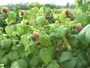 Гибрид малины и клубники – ароматно, вкусно и очень красиво