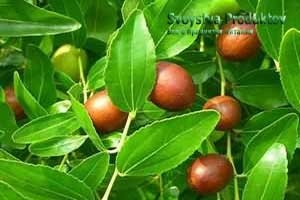 Зизифус – заморский плод для вашего здоровья