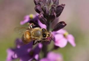 Аккураевый мед – целебные свойства и показания к применению