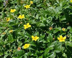 Лапчатка гусиная – приготовления и применение препаратов растения