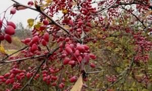 Компот из барбариса на зиму: секреты удачной заготовки