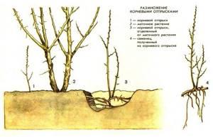 Когда собирать барбарис: время для заготовки разных частей растения