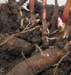 Настойка пиона: полезные свойства и применение