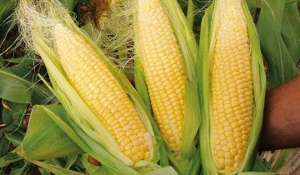 Черная кукуруза: чем полезен этот сорт?