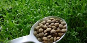 Пророщенная чечевица – полезные свойства и метод проращивания