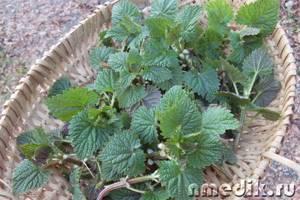 Когда собирать крапиву – заготовка семян и листьев растения