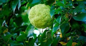 Адамово яблоко: применение в виде настойки и мази