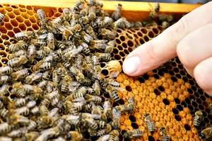 Мазь из пчелиного подмора: как приготовить и правильно использовать, при каких заболеваниях рекомендуется