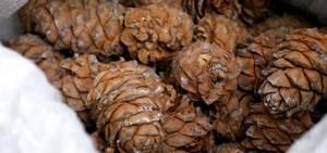 Как хранить кедровые орехи: способы и особенности, срок годности очищенных и неочищенных плодов
