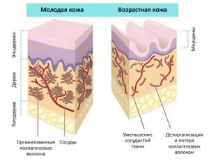 Коллаген и эластин:  белки молодости, как происходит их синтез и выработка в организме человека