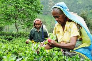 Цейлонский чай: путь от плантации до прилавка