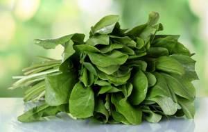 Щавель – польза и вред листового овоща