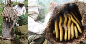 Дикий мёд – изучаем уникальное и целебное лакомство