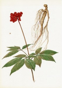 Настойка женьшеня – рецепты приготовления и правила приема