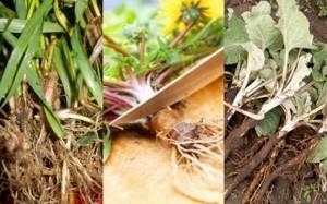 Пырей ползучий: польза и применение при разных болезнях