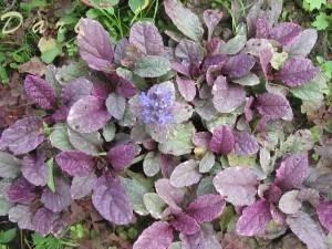 Живучка ползучая: декоративное растение с лечебными свойствами