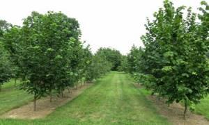 Лесной орех – о пользе ядер фундука и применении орехового масла