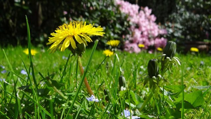 Настойка одуванчика: применение при болезнях, рецепты на водке в домашних условиях, использование цветов или листьев