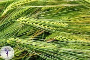 Сок ростков пшеницы: польза изумрудного коктейля
