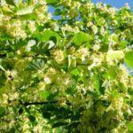 Когда цветет липа – сроки