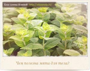 Можно ли есть мяту в свежем виде: полезные свойства растения