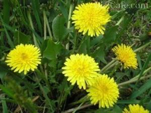 Водяной кресс – вредный сорняк или полезная трава?