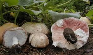 Агарик бразильский – солнечный гриб для борьбы с раком