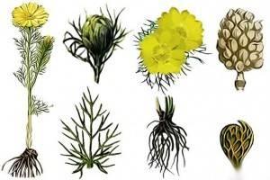 Адонис весенний: лечебные свойства, рецепты
