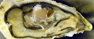 Устричный гриб – изысканный деликатес с пользой для здоровья