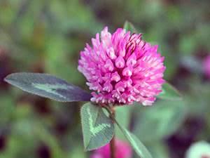 Клевер луговой – препараты растения и их свойства