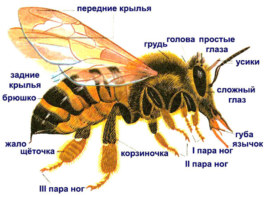 Как пчелы делают мед и для чего?