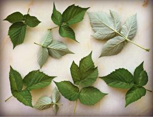 Малина – полезные свойства и возможный вред для здоровья