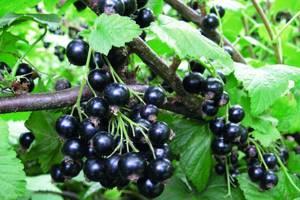 Черная смородина – целебная королева сада