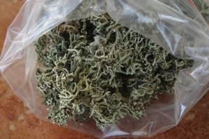 Исландский мох: лечебные свойства и противопоказания, польза и вред растения, где оно растет в России