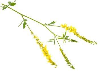 Донник – растительный лекарь дославянской эпохи