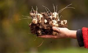 Топинамбур: польза и вред многоликого корнеплода для здоровья