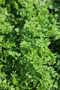 Семена петрушки в лечении различных заболеваний