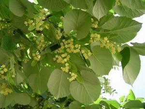 Листья липы: применение в народной медицине и кулинарии